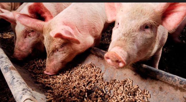 Utilización de soja dañada en dietas de cerdos: análisis de sus parámetros nutricionales
