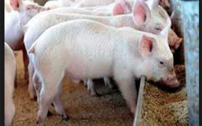 Challenges in feeding high-fiber diets to pigs