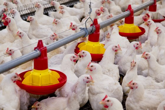 Organic acids invaluable tool for poultry gut health