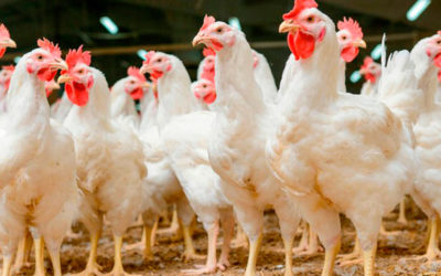 Sector avícola argentino mejora su mercado interno y exportador en 2018
