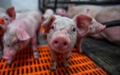 TGE virus-resistant pigs created
