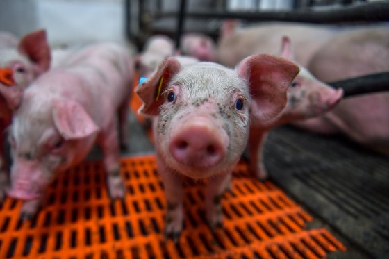 Estrategias para obtener explotaciones porcinas más rentables