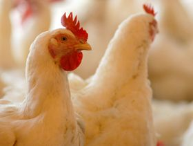 Thailand highlights its poultry welfare standards