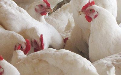 La salmonelosis, su impacto en la salud pública y la producción avícola