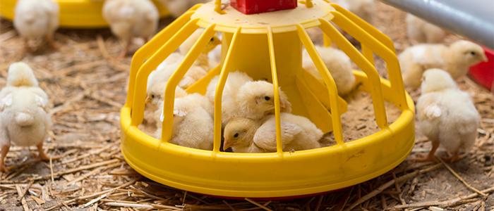 Los 10 mandamientos de la bioseguridad en granjas avícolas