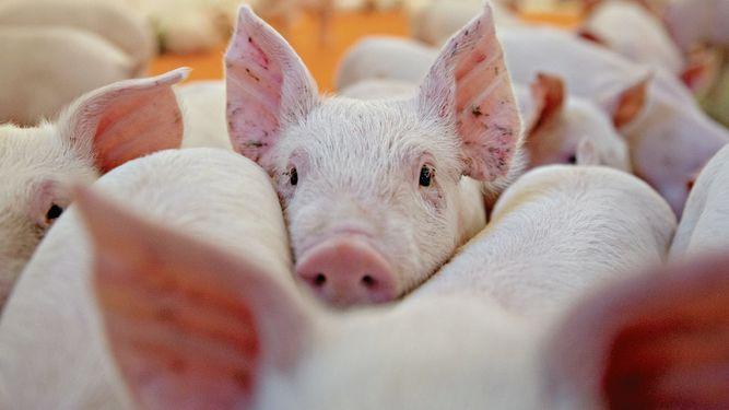 Porcicultura: La influencia materna en la salud intestinal