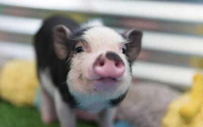 Genética del comportamiento agresivo en cerdos