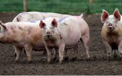 Qué es la peste porcina africana y qué medidas se están tomando para prevenir su ingreso al país