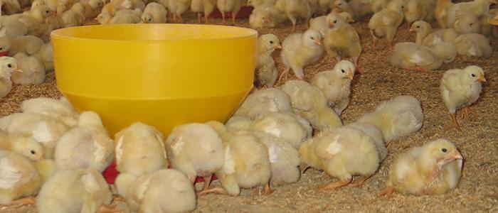 Supervisión en Avicultura