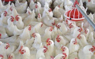Avicultura argentina es elegida por su eficiencia y calidad