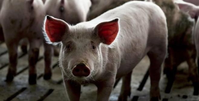 Promueven nuevos negocios de venta de carne de cerdo argentina a China