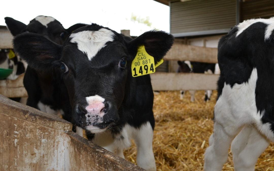 Crianza artificial de terneros de tambo utilizando sustitutos lácteos de distinto contenido energético