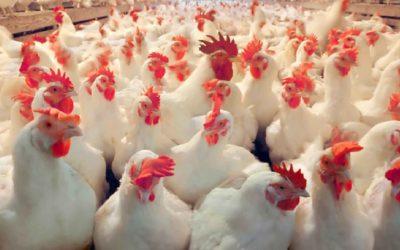 Consecuencias directas del estrés por calor en aves