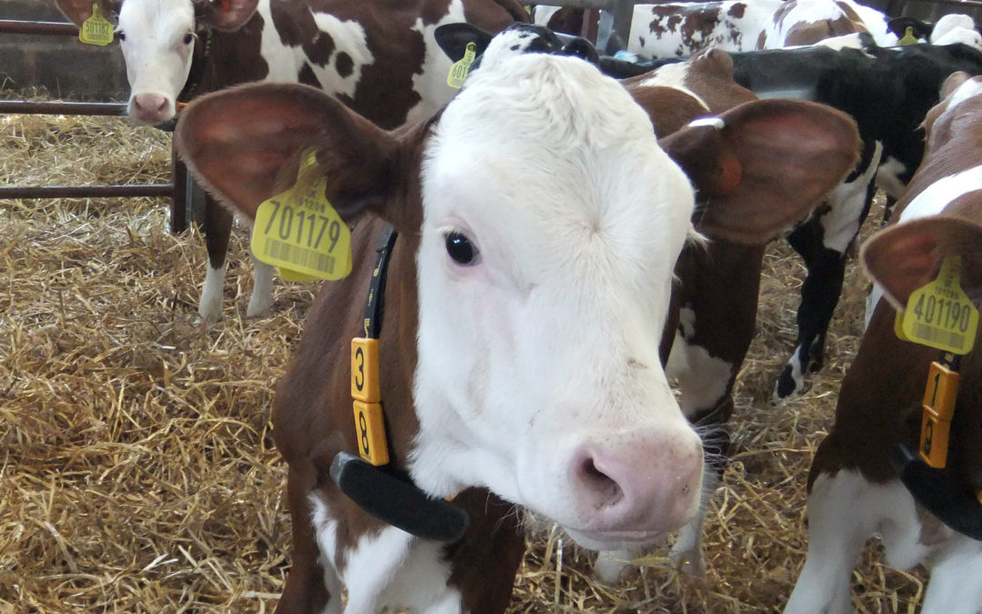 Características del sustituto lácteo y uso de descarte para la crianza de terneros