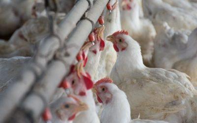 Informe del INTA: Los pollos le pisan los talones a los bovinos en materia de consumo