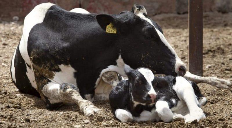 Como elegir un buen sustituto lácteo para terneros