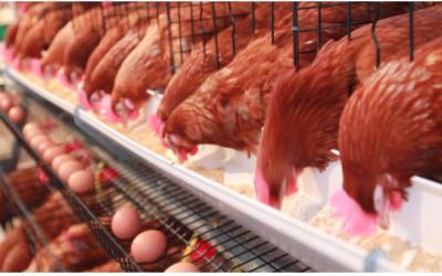 Dietas de verano: Fuentes de cálcio más digestible para aves en postura
