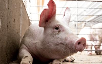 Afirman que China perderá más de 20 millones de cerdas madres por la fiebre porcina