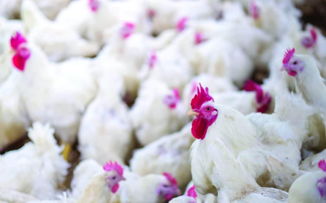 Desafío para el verano: Proteger las integraciones avícolas del estrés térmico.