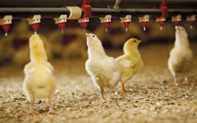 Summer Challenge: Protect poultry farms from heat stress