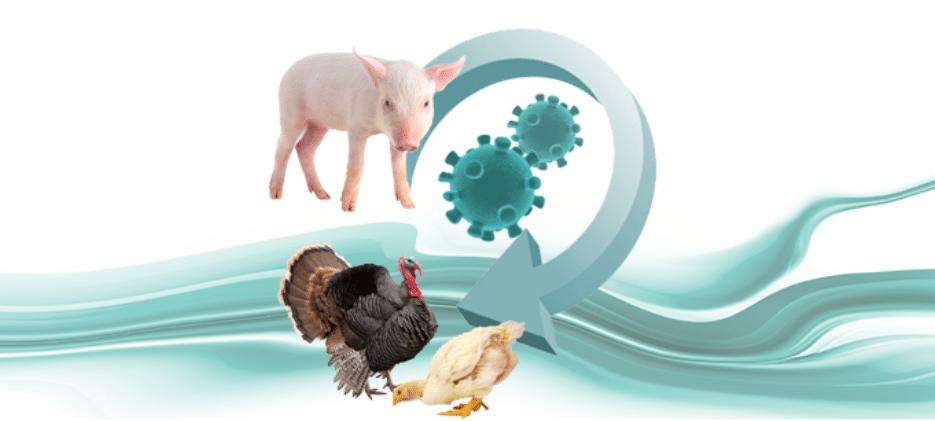 Demuestran la transmisión del Deltacoronavirus porcino a pollos y pavos