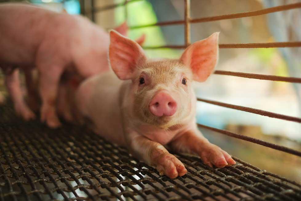 Lo que debemos saber sobre la nueva gripe porcina detectada en china