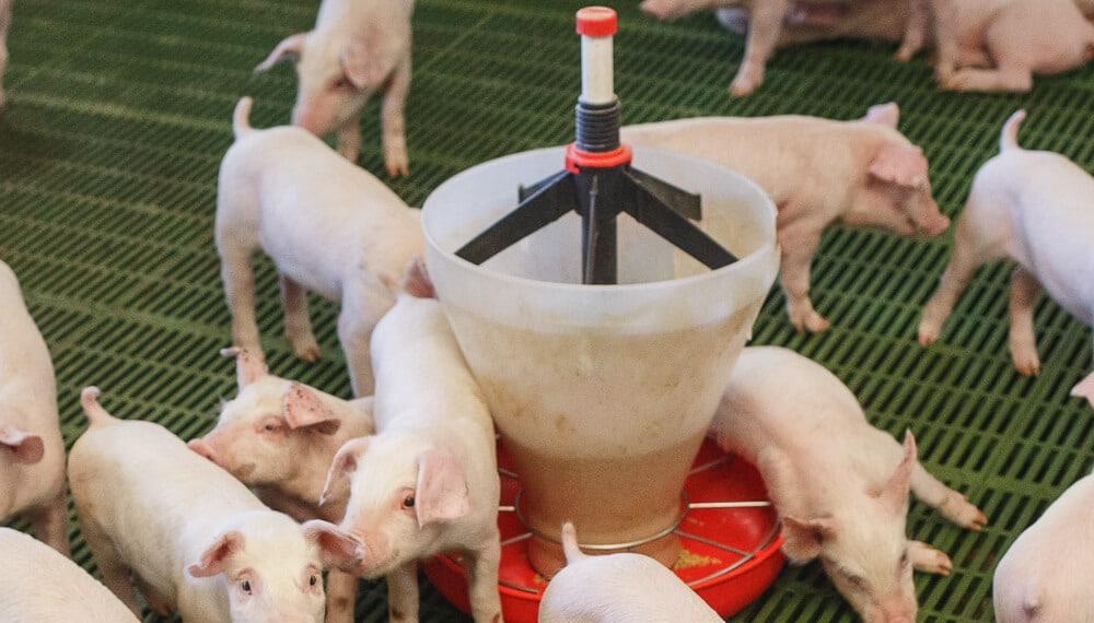 ¿Qué es Rosporc? La primera plataforma de negociación del mercado porcino