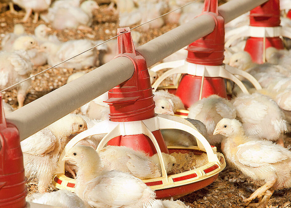Los efectos del Amoníaco en la Producción Avícola – Mitigación y Reducción de las Emisiones – Parte 4
