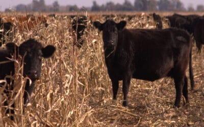 Uso de fuentes proteicas en la producción bovina y el papel de la urea protegida