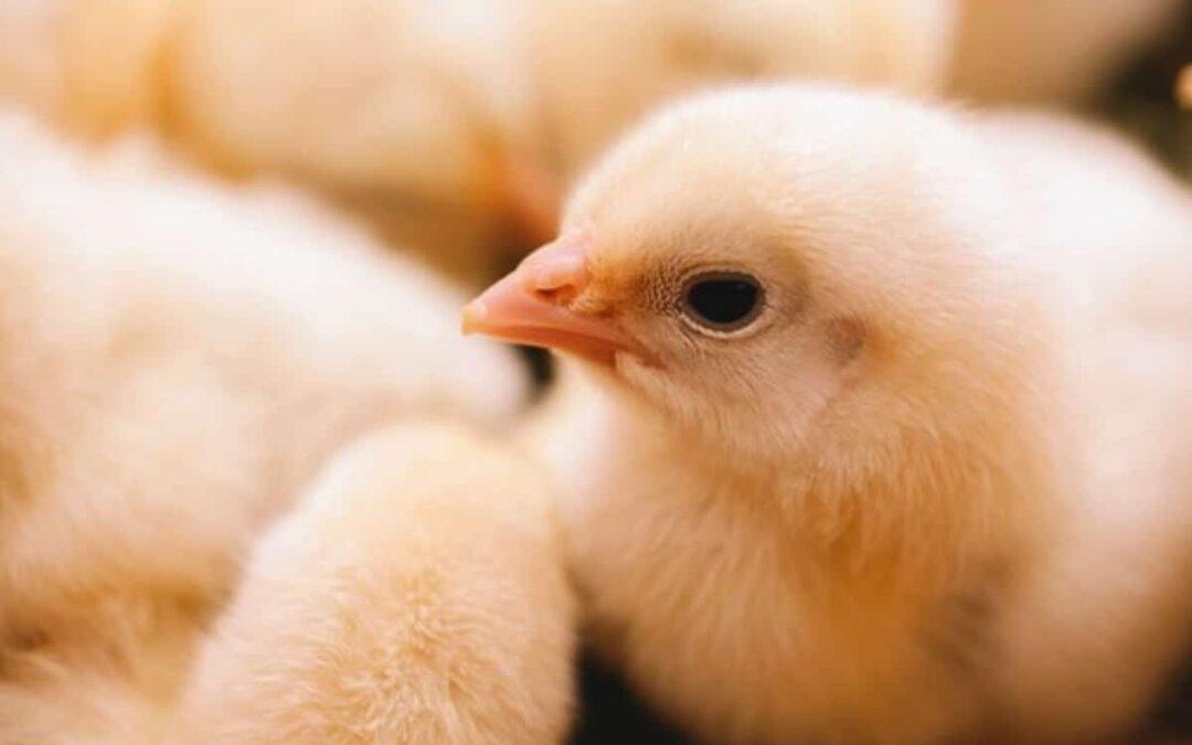 ¿Qué es la colina y cómo se aplica en la avicultura?