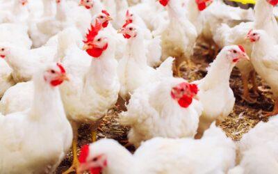 El rol de la vitamina C y E para combatir el estrés calórico en aves