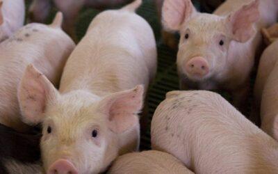 Peste Porcina Africana. Medidas preventivas en Argentina.